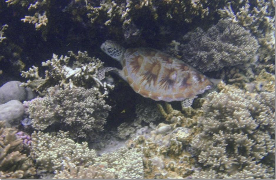 マタキング島のウミガメ